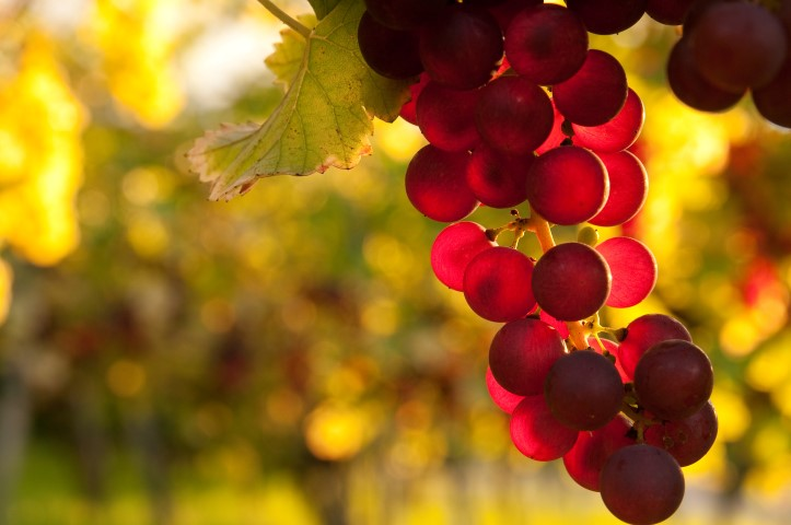 Rote Weinrebe