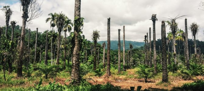 Palmöl Plantage in Costa Rica